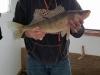 22 inch walleye